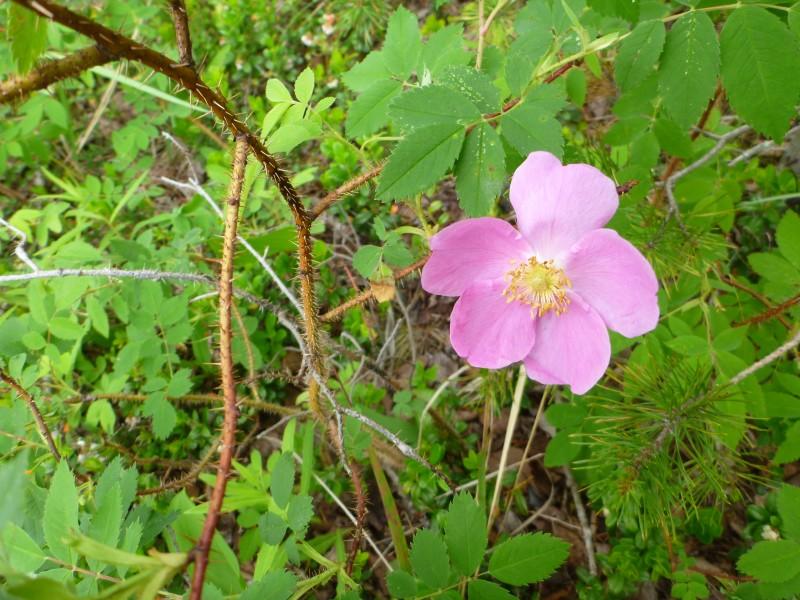 Karjalan ruusu. Äänisen itäranta on melko rehevää metsäpohjaa kasvillisuuden suhteen.