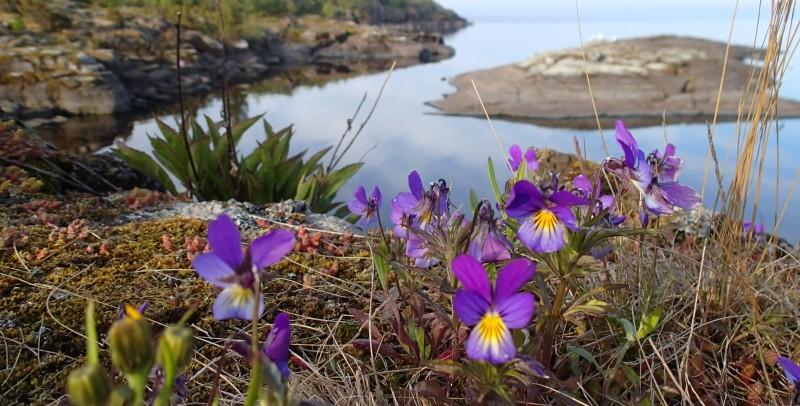 Orvokit ovat ehkä maailman iloisempia kukkia